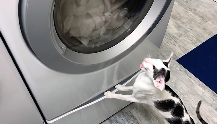 An Adorably Impatient Cat Loudly Honks at His Human to Open the Dryer Door for Him