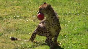 Cheetah Red Ball Retrieval