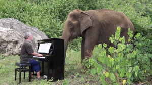 Clair de Lune Piano Eighty Year Old Elephant