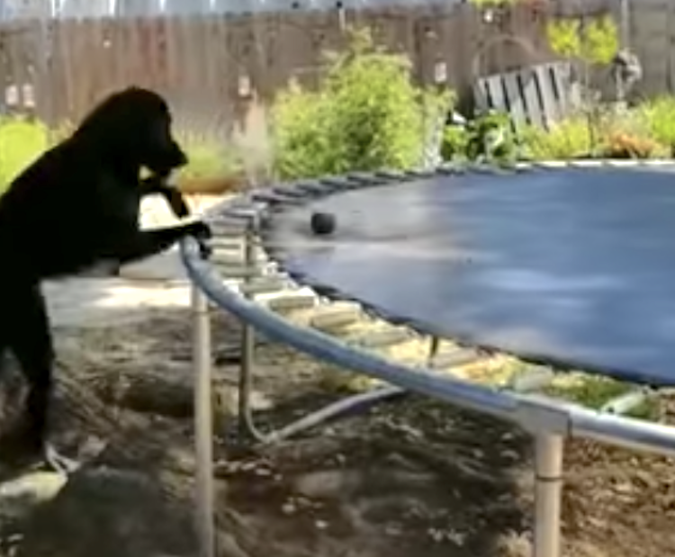 An Astute Dog Figures Out How to Use the Backyard Trampoline to Play a Game of Fetch With Himself