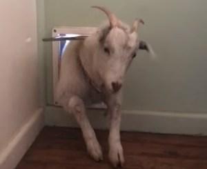 Goat Through Doggie Door