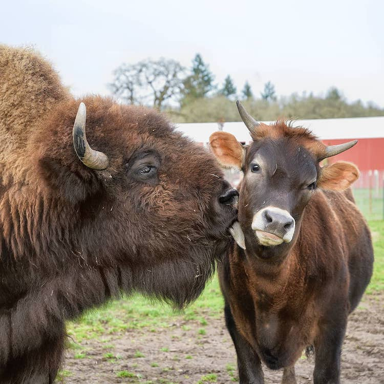 Helen and Oliver Bison and Calf