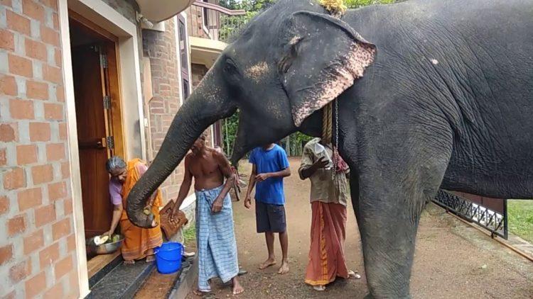 Lekshmi the Elephant Visiting for Treats
