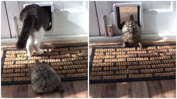 Tortoise Follows Cat