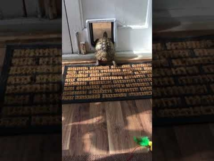 Determined Little Tortoise Adorably Follows a Feline Friend Inside the House Through the Cat Door