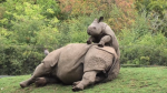 Baby Rhino Tries Wake Up Mum