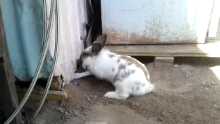 A Determined Bunny Tenaciously Digs at the Dirt in an Effort to Free a Kitten Trapped Behind a Wall