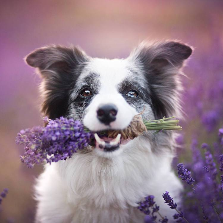 Dog With Lavendar in Mouth - Photographer Captures Beautiful Photographs of Canines Interacting With Superbly Lit Pure Environment