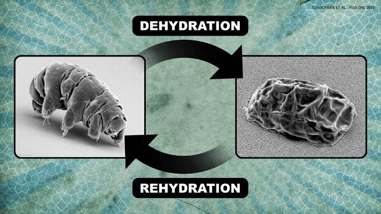 Hydration Rehydration Tardigrade