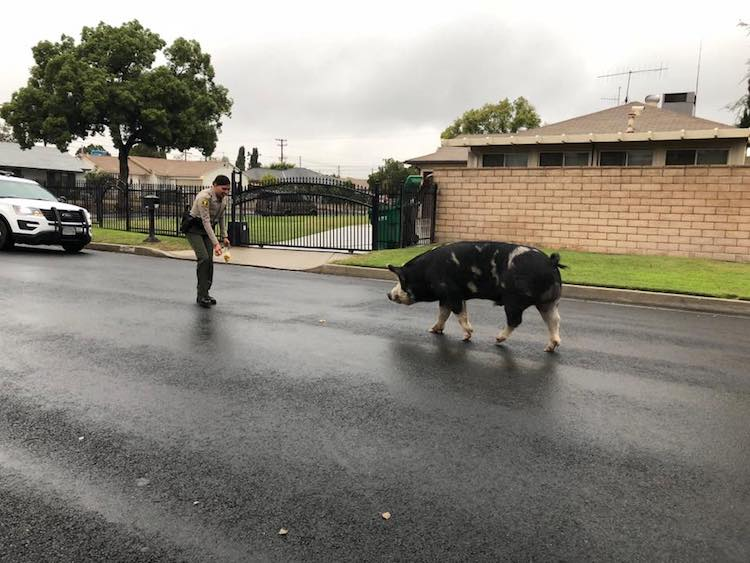 Sheriff's Deputies Lure Escaped Pig the Size of a Small Horse Back Home by Leaving a Trail of Doritos