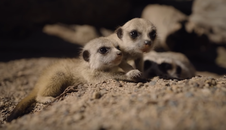 Adorable Footage of Baby Meerkats Frolicking About