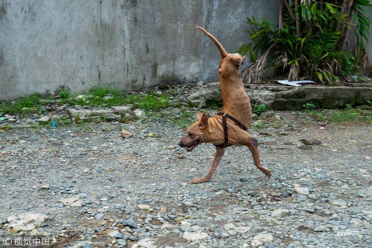 A Tenacious Dog Born Without Back Legs Who Was Left For Dead Learns How to Run on Her Front Paws