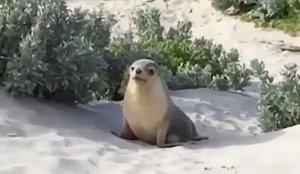 Seal Crawls Across Sand