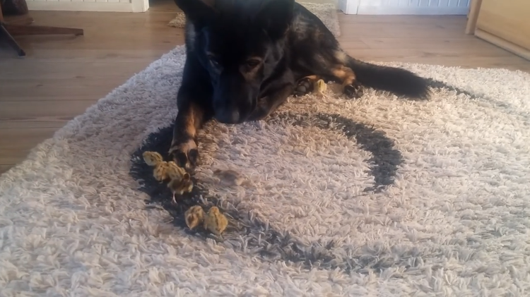 An Affable German Shepherd Gently Watches Over a Bevy of Baby Quails Crawling Around on a Shag Rug