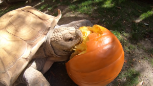 Tortoise Eats Giant Pumpkin