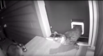 Cat Chases Raccoon
