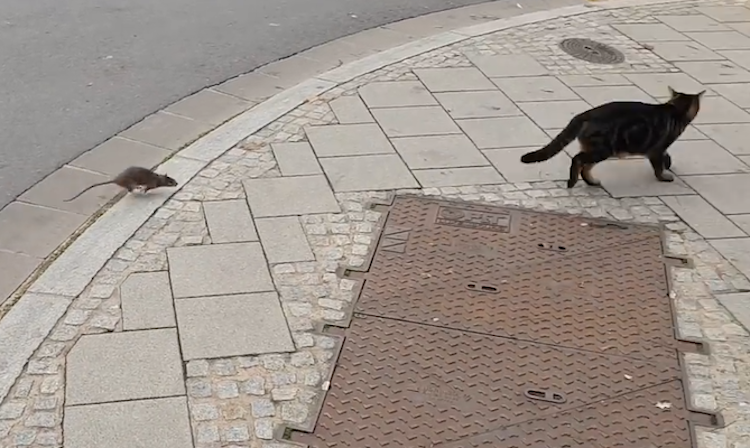 A Tough Little Street Rat Chases the Boldly Inquisitive Cat Who Started the Chase in the First Place
