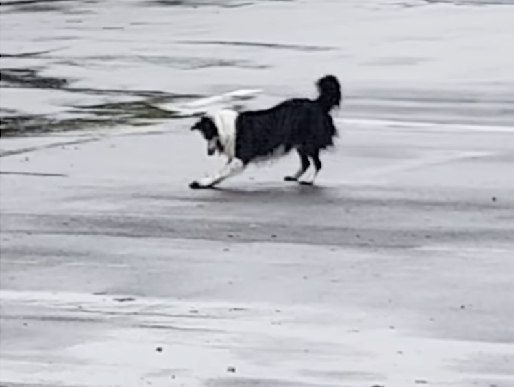 Playful Border Collie Prefers to Skate On a Shiny Rock Around a Slippery Parking Lot Instead of Fetching It