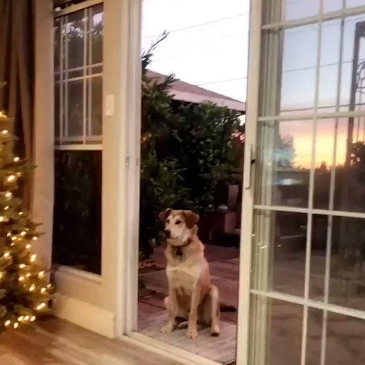 A Silly Dog Waits Outside Until a Human Pretends to Open an Invisible Screen Door to Let Him In