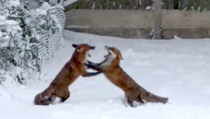 Foxes Playing in Snow
