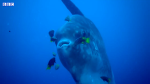 Giant Ocean Sunfish Cleaning