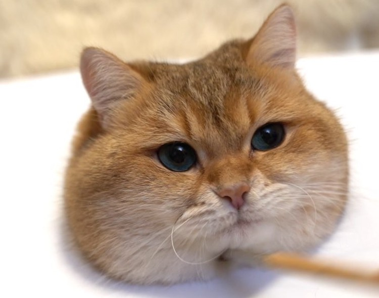 A Realistic Painting of Fuzzy Fat Cheeked Cat