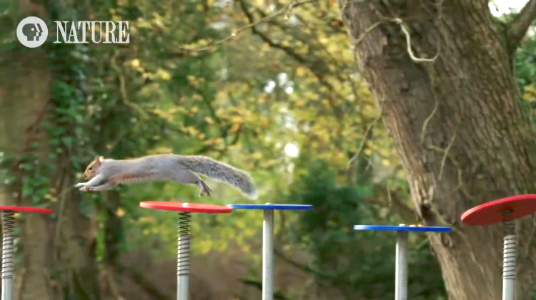 Squirrel Navigates Obstacle Course
