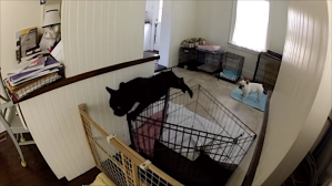 Bouncy French Bulldog Leaps Over Gate