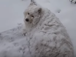 Fluffy White Dog Refuses to Come Inside Snow