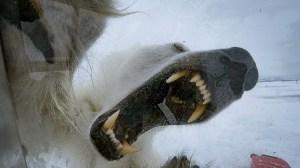 Massive Polar Bear Gordon Buchanan