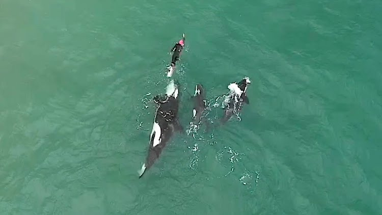 Orcas and Swimmer on New Zealand Beach