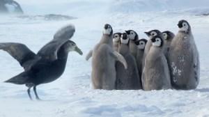 Baby Emperor Penguin Chicks Defensive Circle