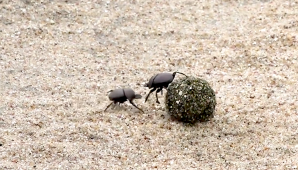Dung Beetles Battle for a Ball of Poop _ Nat Geo Wild