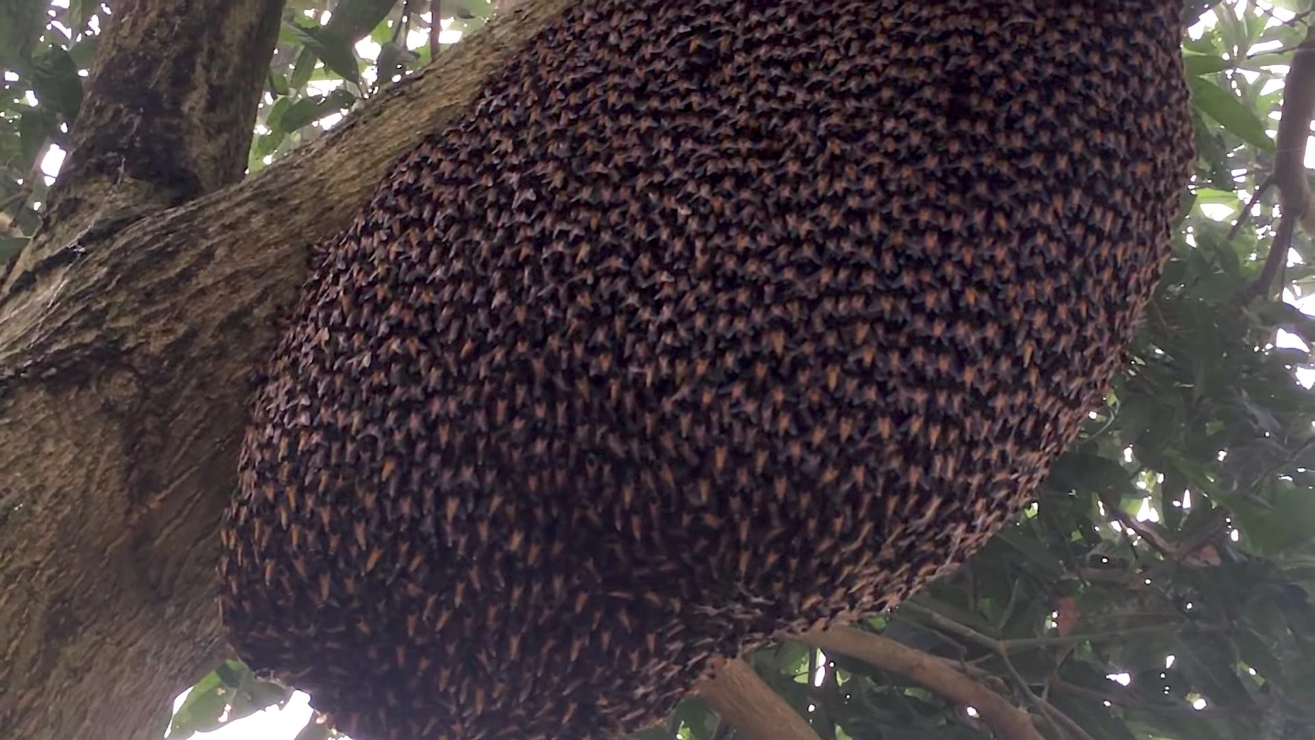 Defensive Waves Ripple Through Honey Bee Colony