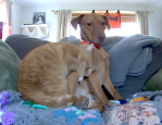 Orange Cat Snuggles With Dog on Couch