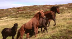 Untamed Horses in Iceland's Mountains _ National Geographic