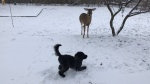 Goldendoodle and Deer