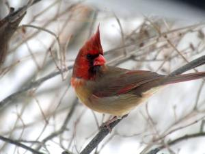 Half-Male Half-Female Cardinal