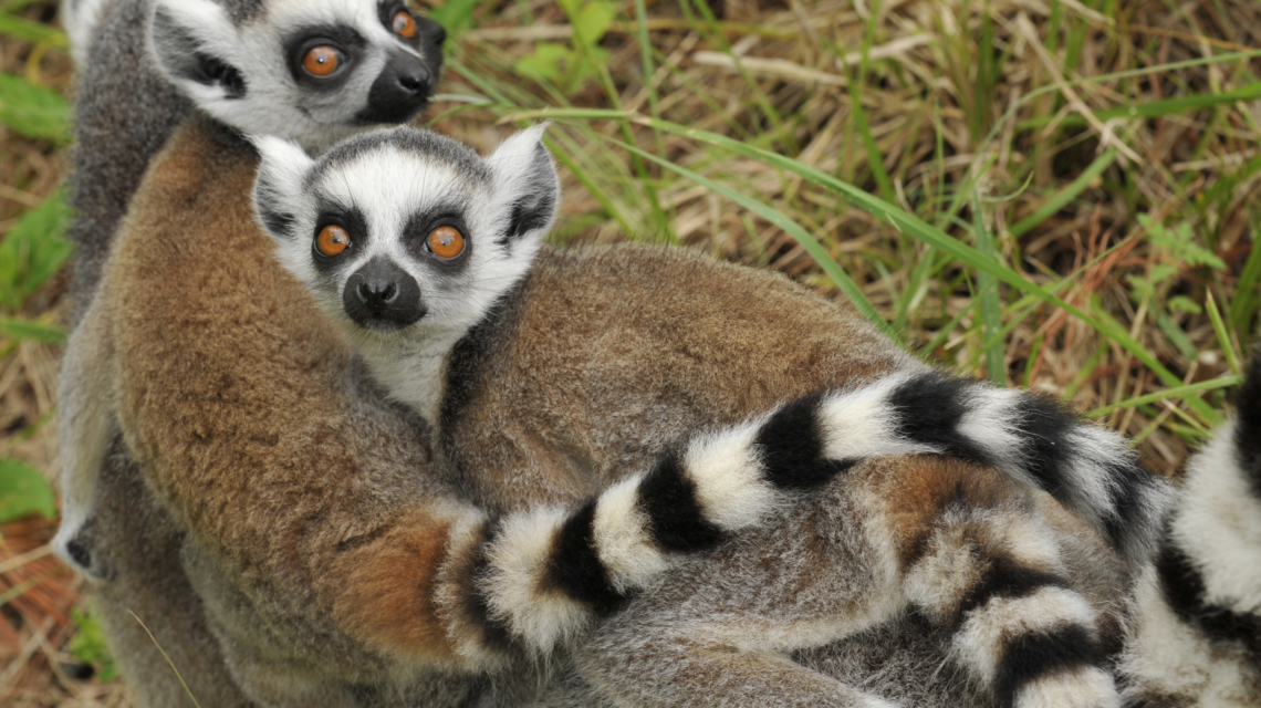 True Facts About the Lemur by Ze Frank