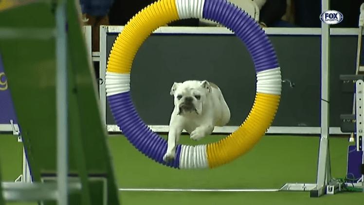 Rudy the Bulldog Runs Agility Course