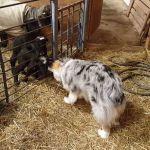 Shepherd Licks Lambs Face
