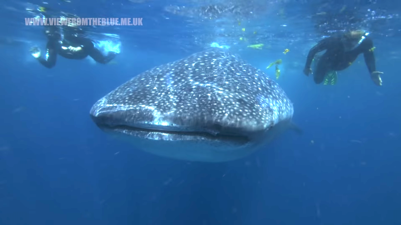 Swimming With Gentle Giant Whale Sharks as They Feed off Isla Mujeres, Mexico on the Yucatan Peninsula