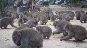 Working at a Japanese Snow Monkey Park Only in Japan