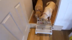 Dogs Figure Out Two Dimensional Treat Game