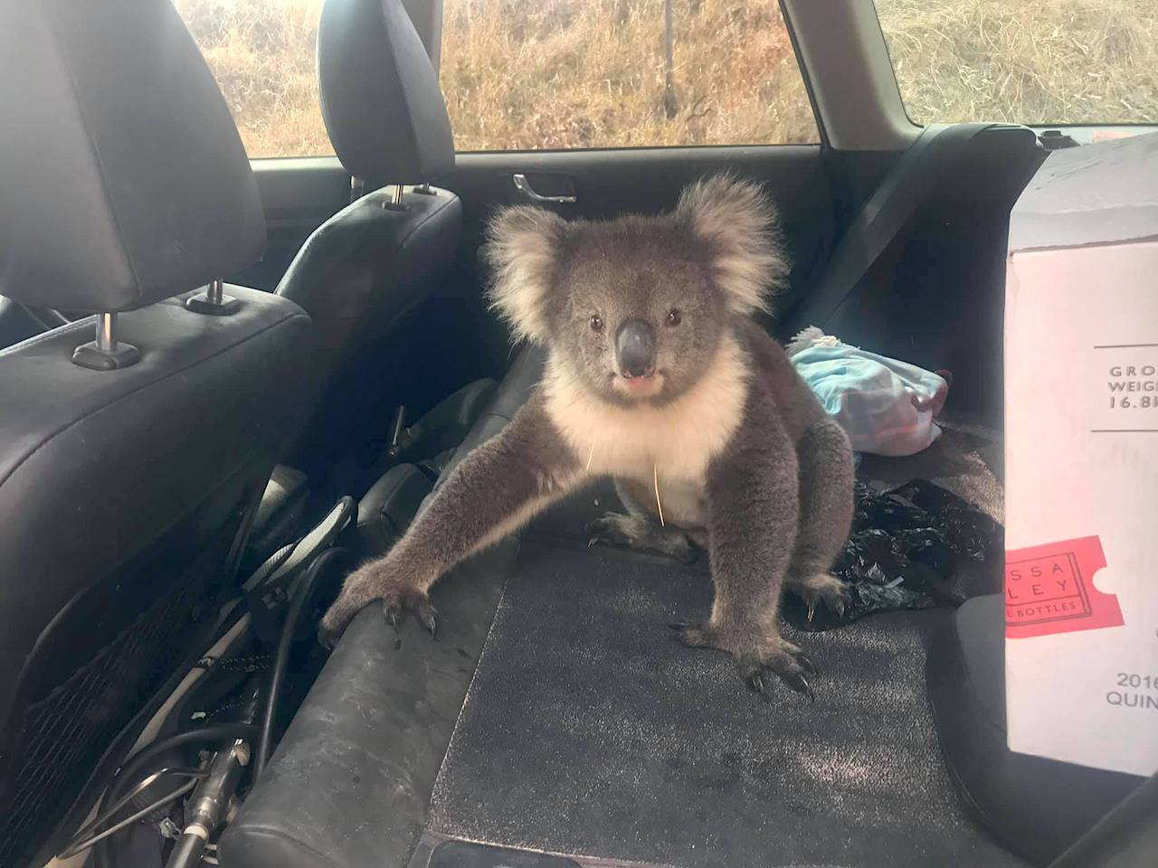 A Hot and Thirsty Koala Bear Seeks Cool Refuge in the Air Conditioned Environment of a Winemaker's Car