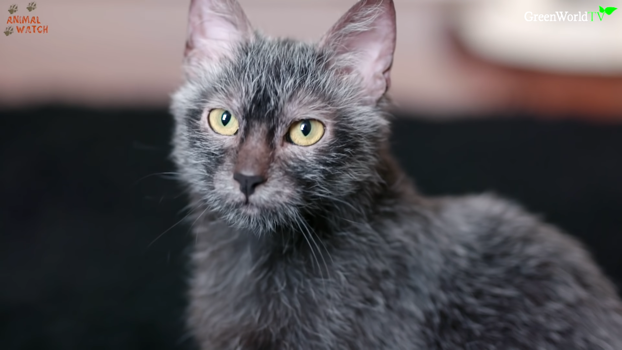 Lykoi, A Recent Breed of Cat Whose Sparse Dark Coats and Big