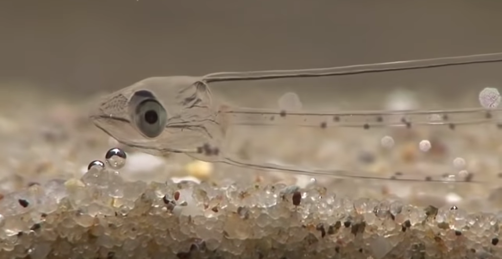 Transparent Fish (Leptocephalus)