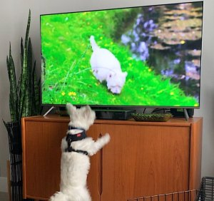 Excited Westie Puppy Sees Another on TV