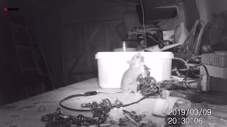 Industrious Mouse Tidies Up Tool Shed