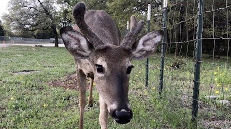 Woman Reunites With Pet Deer